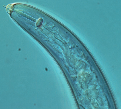 Nematodes - Nematoda is one of the most diverse phylum of animals with more than 25,000 described species. Nematodes, commonly known as roundworms, are important soil organisms, as different species of nematodes feed on bacteria, fungi, plants, and other nematodes. The key groups of soil nematodes include Panagrolaimida, Rhabditida, Mononchida, and Dorylaimida.