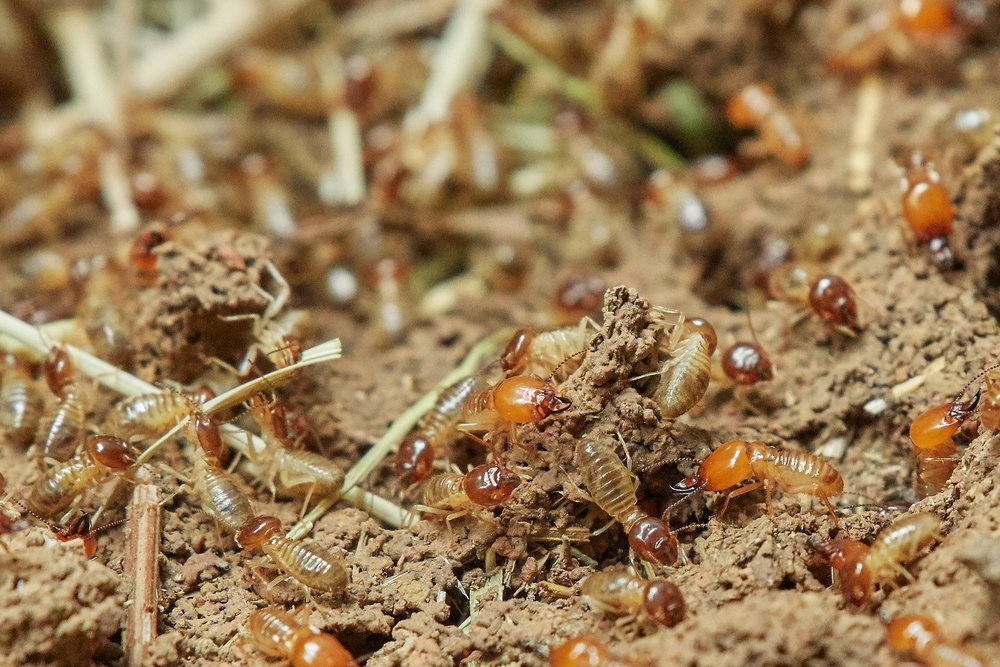 Termites - Termites form the order Isoptera and are not closely related to ants. They are social insects, and some species are known for their extensive mounds both above- and belowground. Termites consume dead plant material, including wood. They are most abundant in tropical areas.