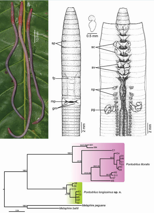 """A highlight of the  Zootaxa  Special Issue on earthworms: a second marine littoral earthworm species,  Pontodrilus longissimus . Up to now only  one  truly marine littoral species of earthworms had been known, the peregrine  Pontodrilus litoralis . The second species was discovered by the specialist and """"earthworm species hunter"""" Samuel James with a short look at the material (""""this is a new species""""), but it's a long way from discovery to valid description. This work was carried out in the group of Somsak Panha at the Chulalongkorn University of Bangkok. The paper includes a revision of the sister species  P. litoralis  and a comparison of both species at DNA-level. Left: Three specimens right after fixation. Right: Drawings of taxonomic structures, morphology and anatomy. Bottom: Molecular comparison of the new species with its sister species. From Seesamut  et al. , Zootaxa 4496, pp. 218-237, with permission of the authors."""