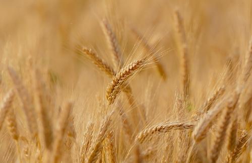 wheat-3241114_640.jpg