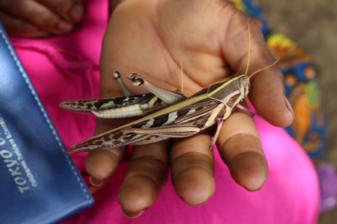 grasshopper_Zambia.png
