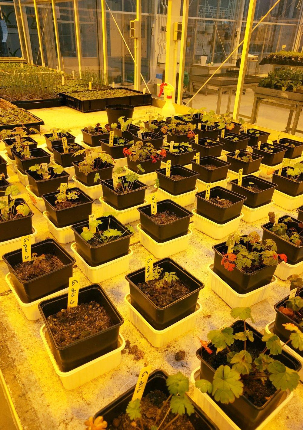 Figure 2. Plant-soil feedback experiment.