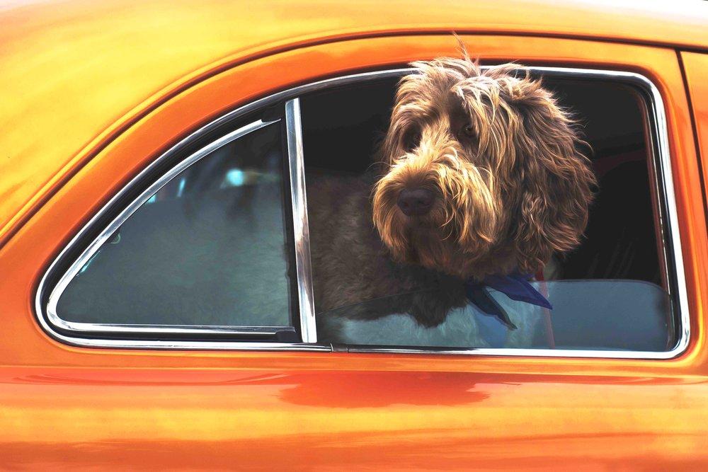 pet-taxi-austin-tx.jpg