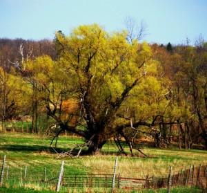 affable oak
