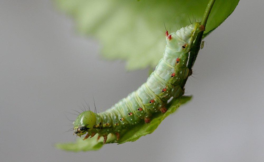 caterpillar-4050161_1920.jpg