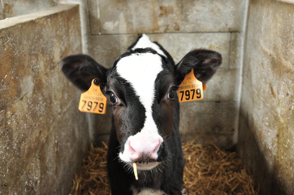 dairy calf hildebrand dairy