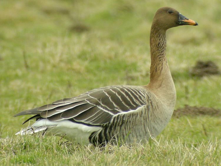 Taiga Bean Goose of Slamannan