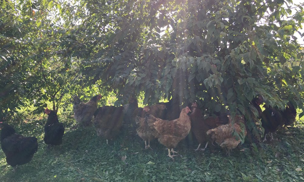 Caring and Careful - We signed the NOFA-NY Farmer's Pledge, which is broader than organic standards. Our hens are relaxed, yet busy. They are