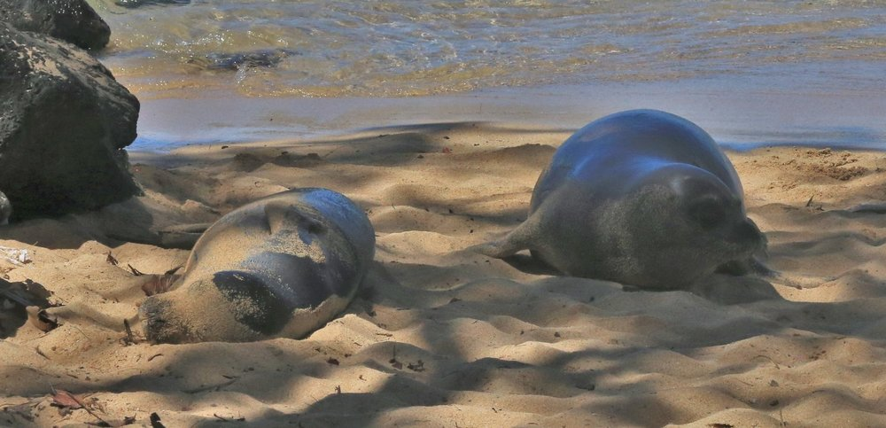 Pair of Monk Seals at Poipu Beach, Kauai