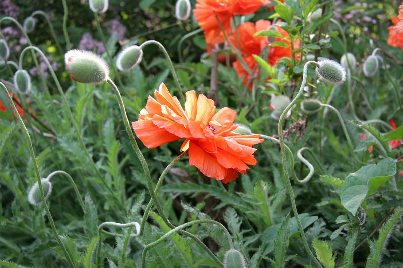 Poppy_1943.jpg
