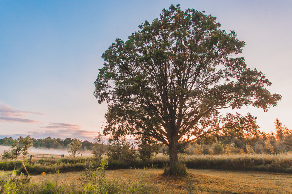oak tree in the mist.jpg