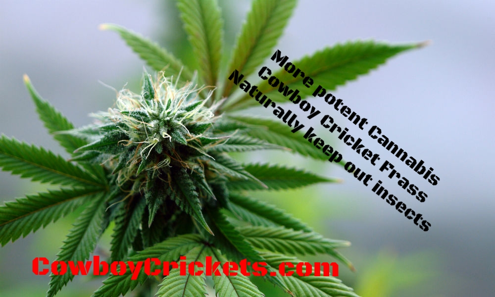 Medical-marijuana-plant.jpg