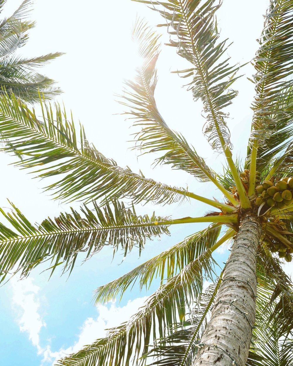 palmtree_MANO.JPG