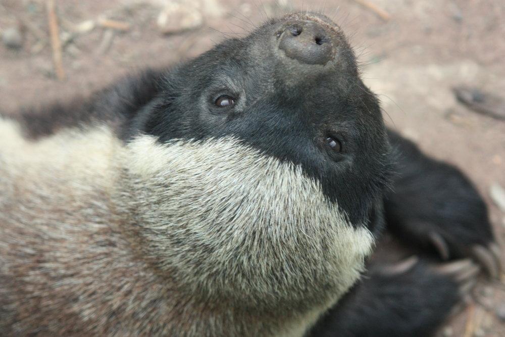 Honey Badger -