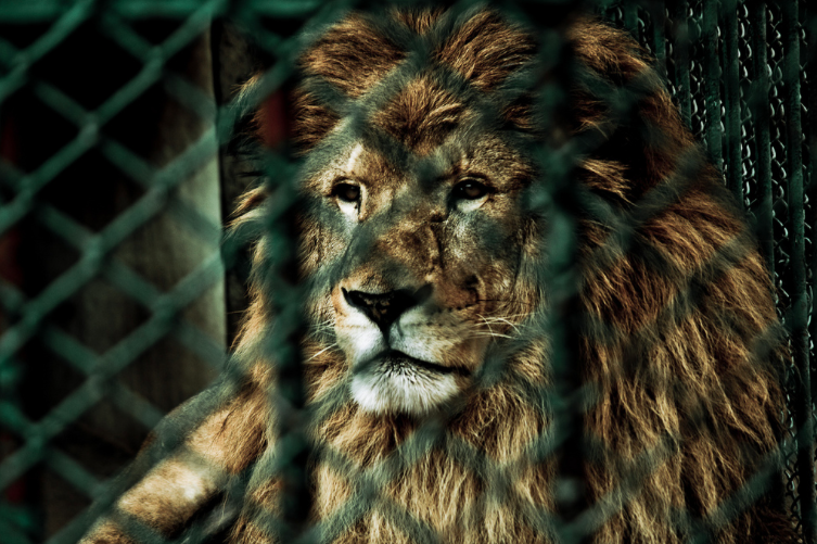 Current Rescue - The Ubuntu team is excited to announce our commitment to rescue 7 tigers, 2 ligers and 4 lions from a closed down zoo in Argentina.Read more