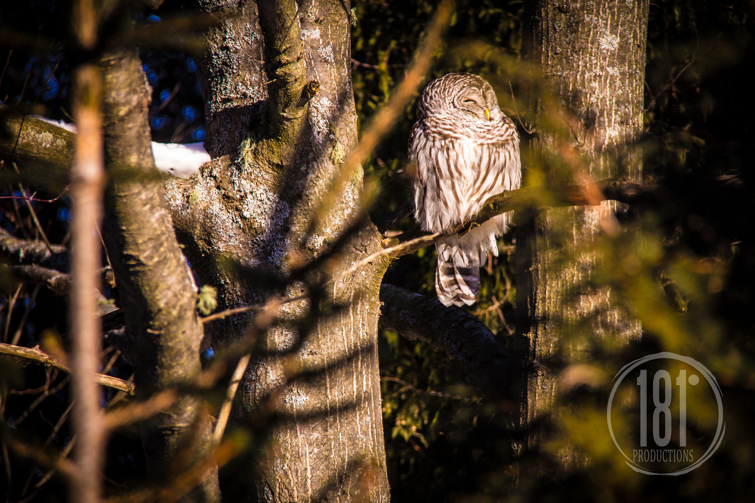 OwlintheBackyard-Jan3.2013-3