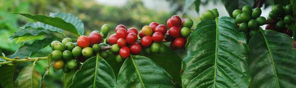 coffee-cherries-branch.jpg