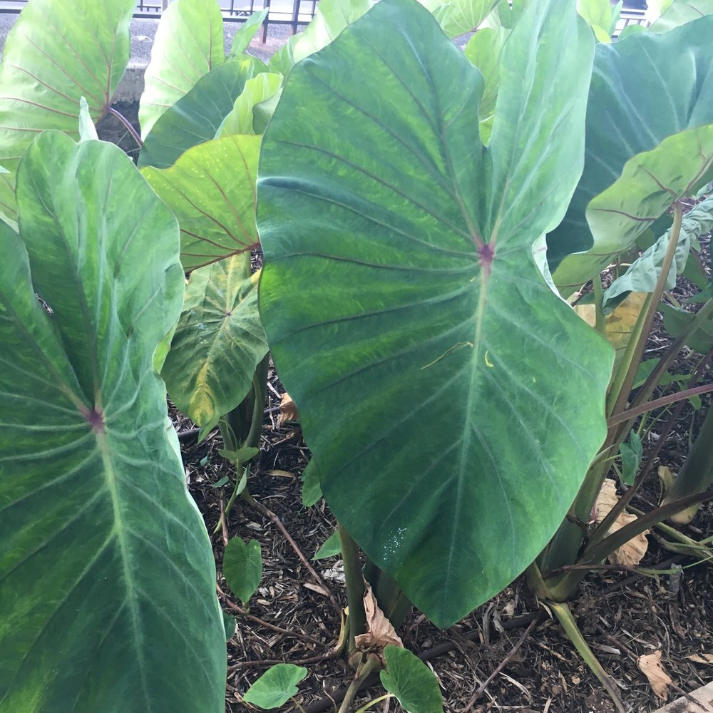 This is KALO . . .it produces the Taro root, a Hawaiian staple. Culturally, as Hawaiians, we believe the Kalo is our brother. Makes sense, right? Take care of what feeds you like family? That's what Poppa always said, anyway.  (PC: CL WALTERS)