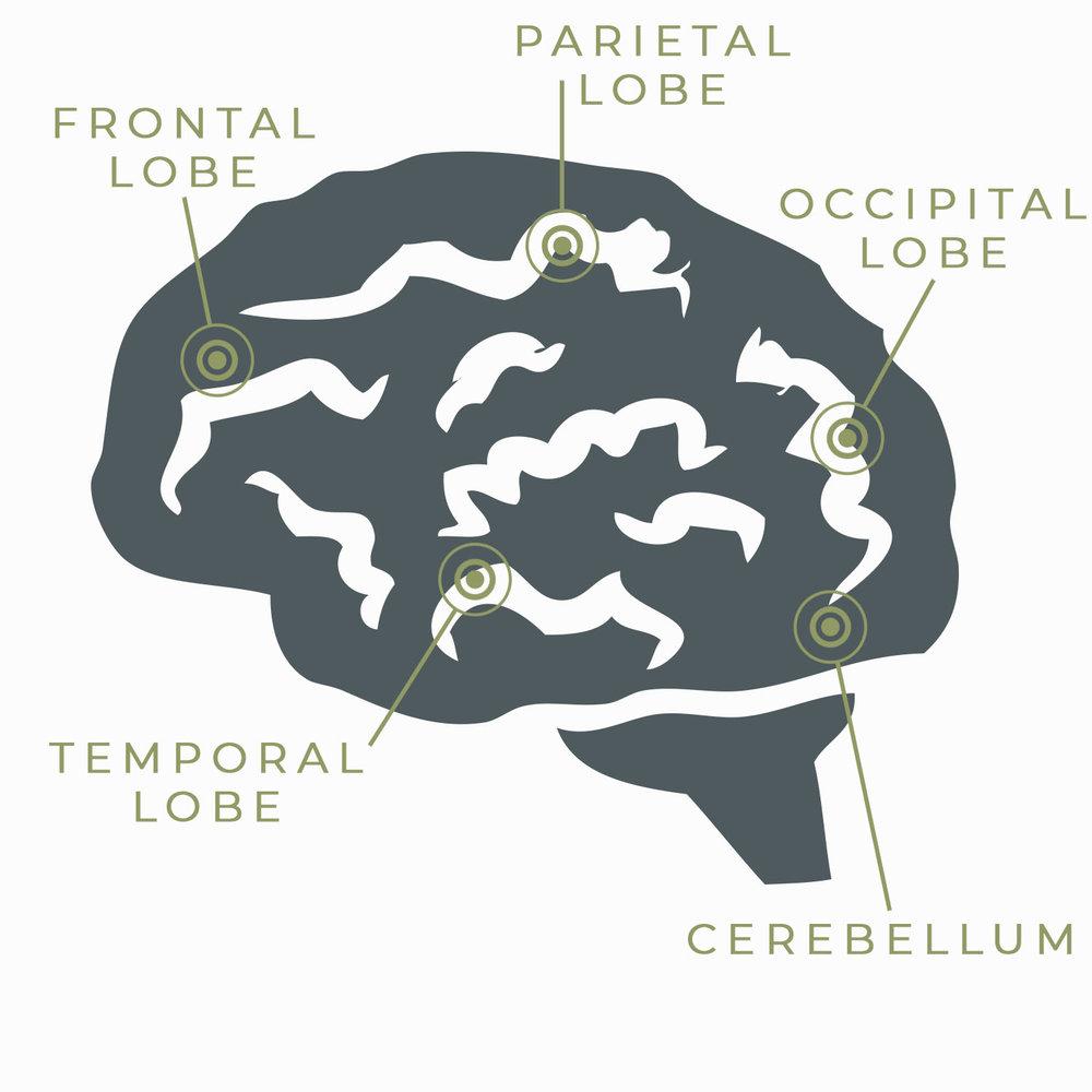 basic-lobes-brain.jpg