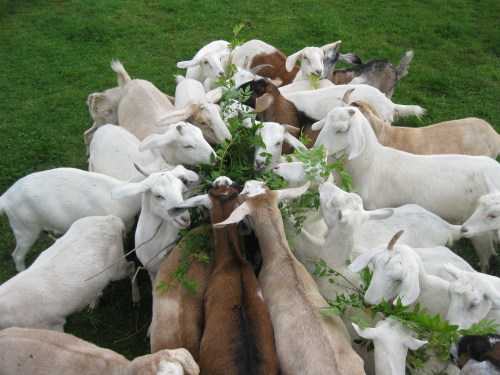 2008 - We begin breeding our first dairy goats on our Hawke's Bay farm, experimenting with Cow and Goat's cheese in the kitchen