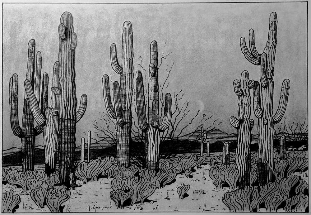 "Saguaro and Ocotillo, Dusk 10x12"" Ink and Charcoal on Paper (Sold)"