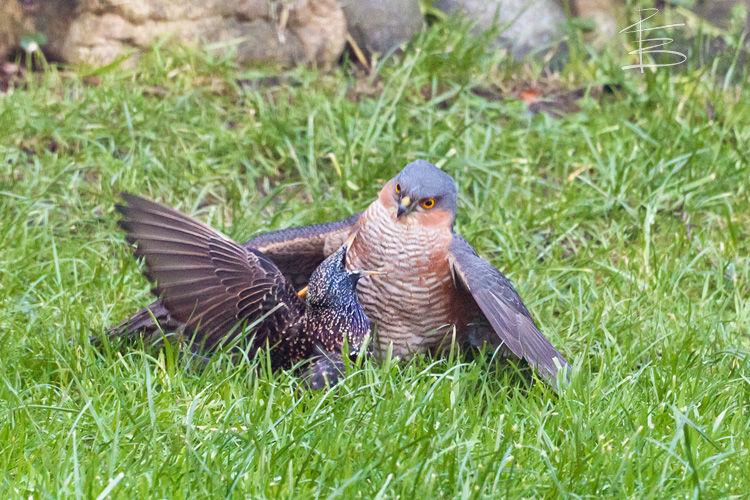 sparrowhawkandstarling7501.jpg