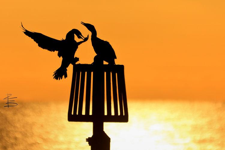 cormorantsilhouettesflyingon7501.jpg
