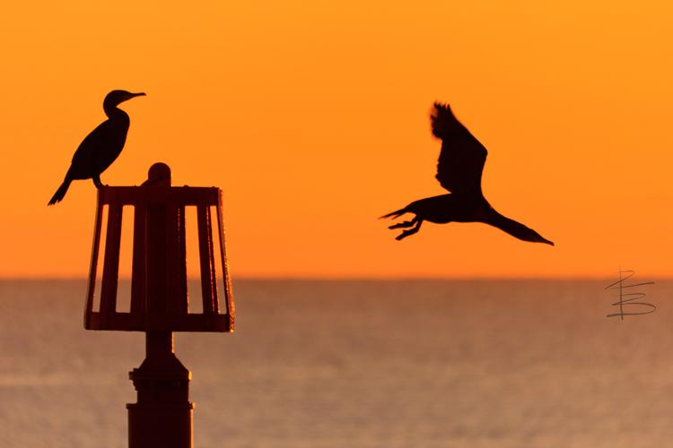 cormorantsilhouettesflyoff750.jpg