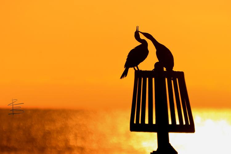 cormorantsilhouettesfighting7501.jpg