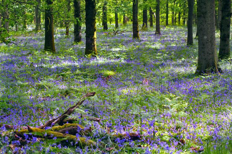 bluebellwoods14x47501.jpg