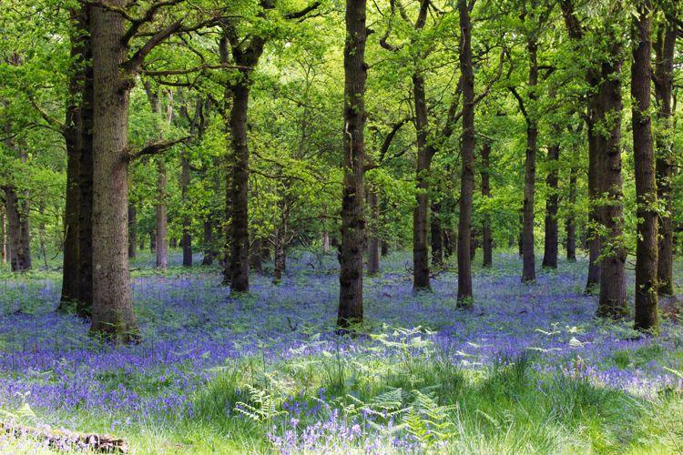 bluebellwoods14750.jpg