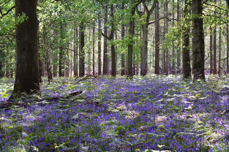 bluebellwoods14x3750.jpg