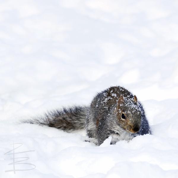 snowysquirrelDWT750.jpg