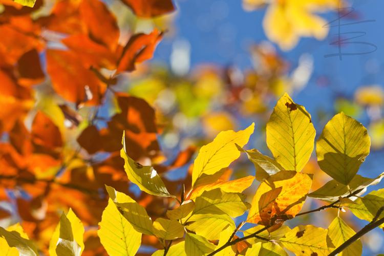 autumnleavesblueskyclean750.jpg