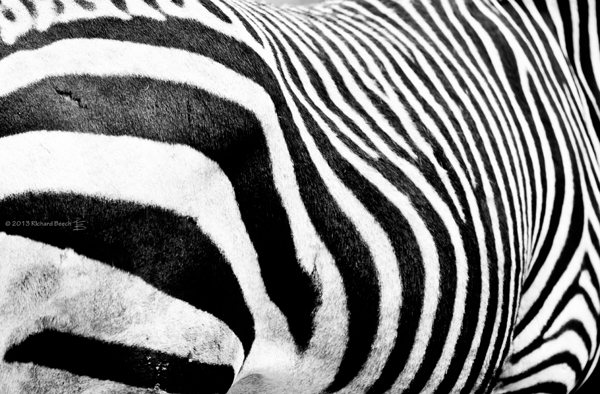 zebraabstractflickrresized1.jpg