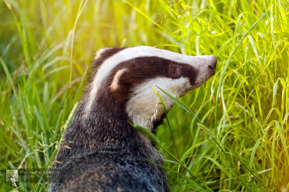 Badger in Evening Sunlight