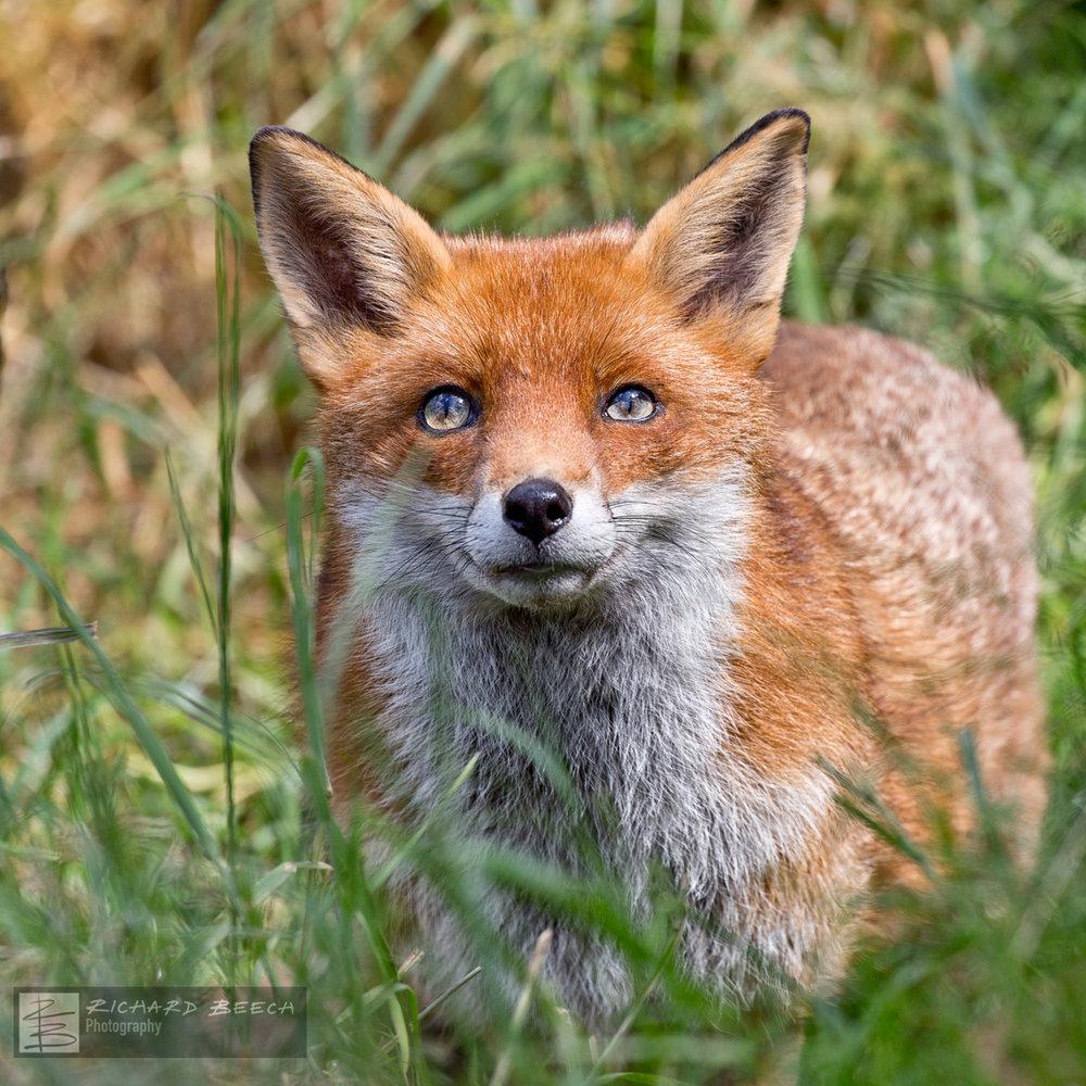 Fox Stare
