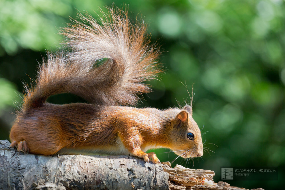 Brownsea Red Squirrel