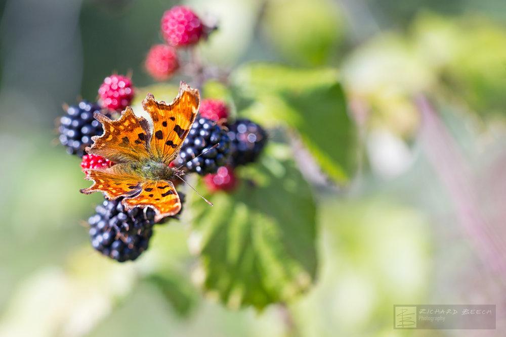 Comma on Autumn Berries