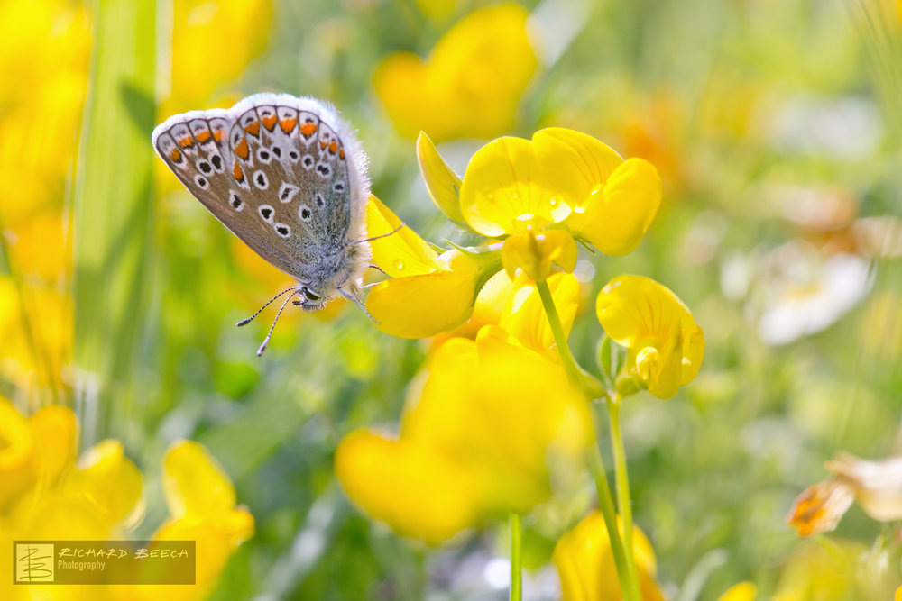 Common Blue on Yellow Wildflowers