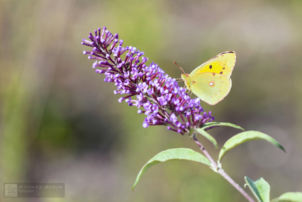 Clouded Yellow on Buddleia