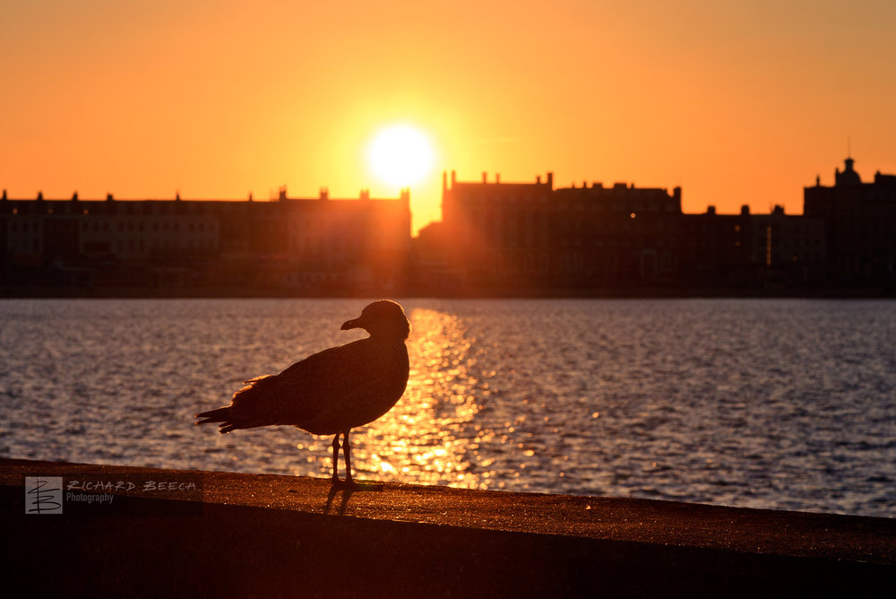 Young Seagull at Sunset