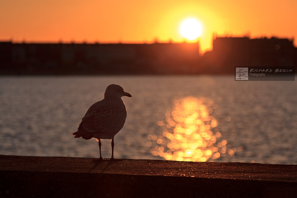 Sunset Young Seagull
