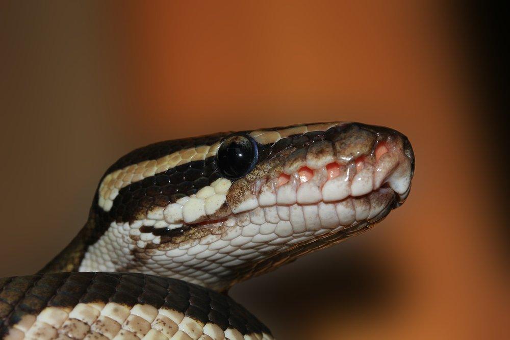 snake-601831_1920.jpg