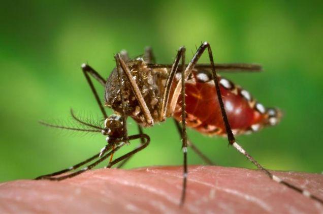 Aedes aegypti: principal vector del virus de la fiebre amarilla. Wikimedia Commons