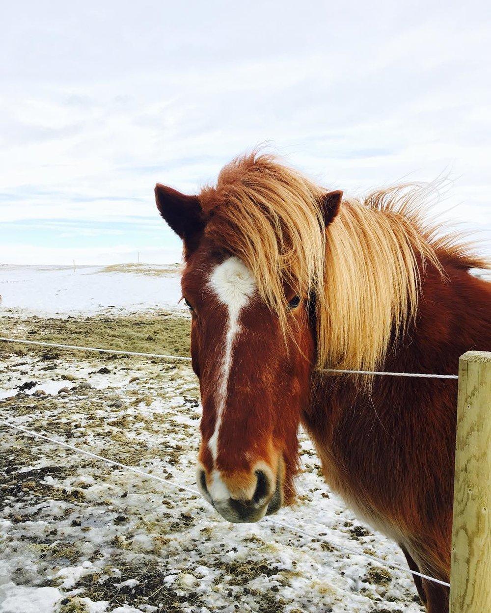 Meet Caramel, My Favorite Icelandic Horse -