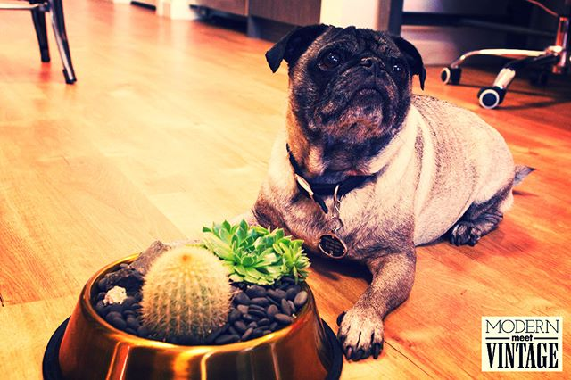 Edgar is feeling fancy with his 24K Gold DIY Succulent Dog Bowl Kit and you will too! The kit is a fantastic addition to any home, a perfect birthday gift or a beautiful way to honor the life and legacy of a furry friend. For every kit that is purchased we make a donation to an organization making a difference. Visit the link in our bio to buy!