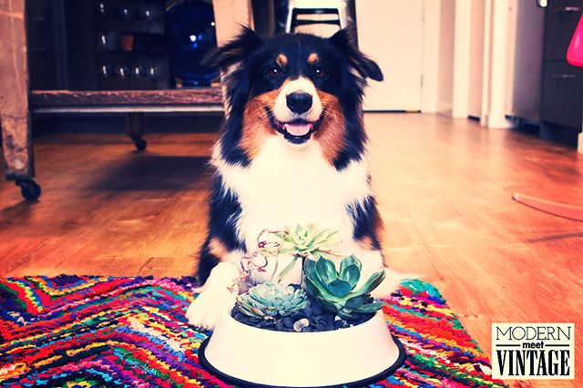 Bizzy loves to coordinate and chose the Pearl White DIY Succulent Dog Bowl Kit! The kit is a fantastic addition to any home, a perfect birthday gift or a beautiful way to honor the life and legacy of a furry friend. For every kit that is purchased we make a donation to an organization making a difference. Visit the link in our bio to buy!