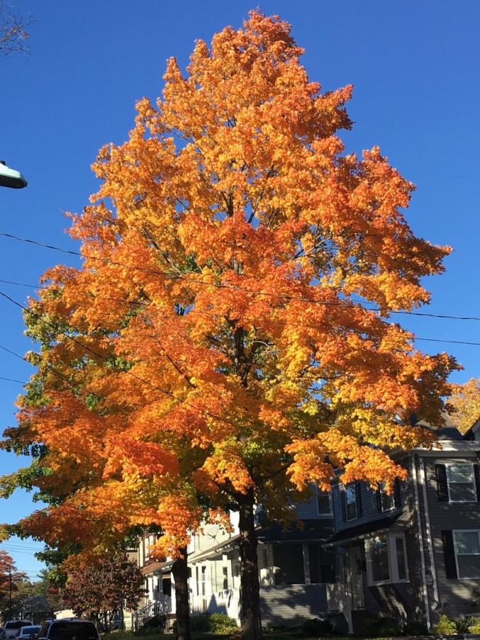 A ridiculously, orange tree