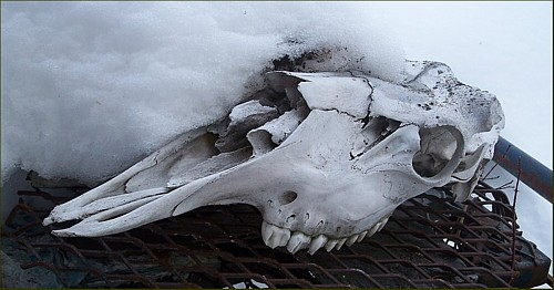 Moose skull. Wolf winter kill.